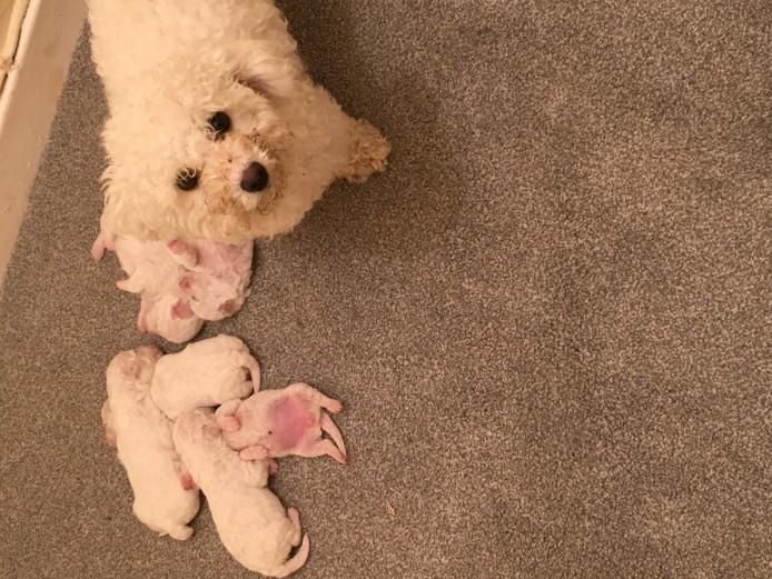 Bichon frise puppies