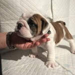 Bulldog Pups KC Registered