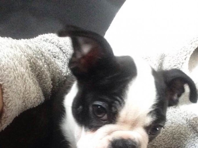 Boston Terrier Male Puppy For Sale