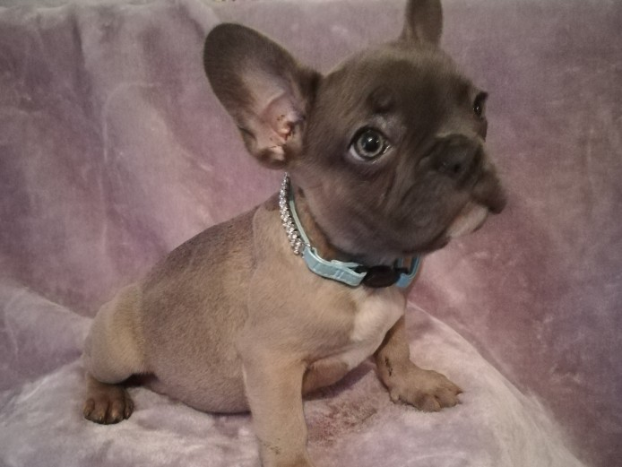 5 beautiful french bulldog puppies