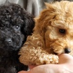 RARE & BEAUTIFUL toy poodle pups
