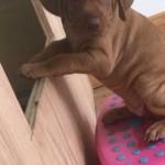 Male Vizsla Pup