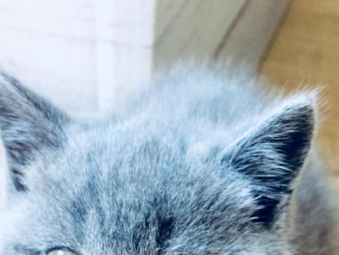 British Blue Shorthair Kittens