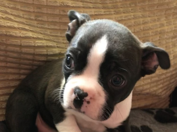 Stunning 3/4 Boston terriers