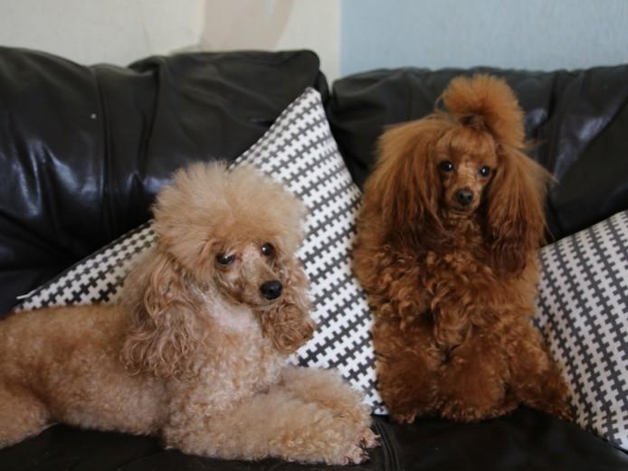 KC reg Toy poodle puppies