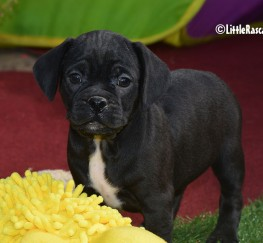 Pets  - Puggle Puppies for sale