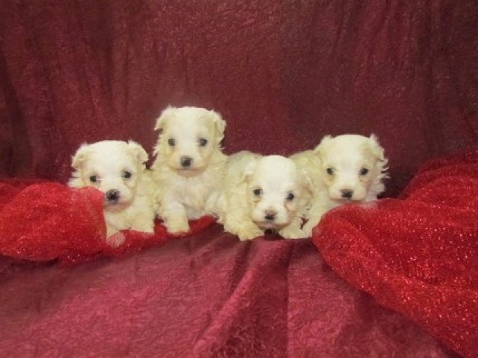 Exceptional Tiny Show Quality Maltese Puppies