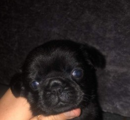 Pets  - Miniature pug puppies