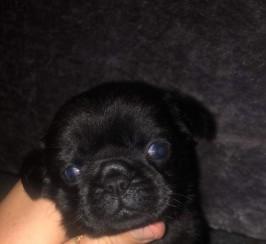 Miniature pug puppies