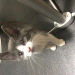 Beautiful grey and white kitten
