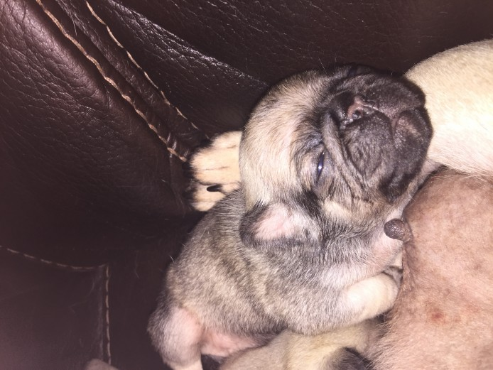 Kc registered Pug puppies for sale
