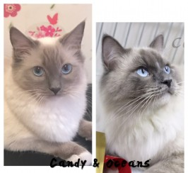 GCCF REGISTERED Ragdoll kittens from champion line