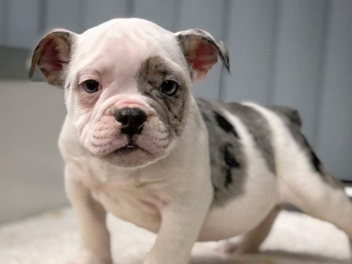 Top quality Olde English Bulldog puppies