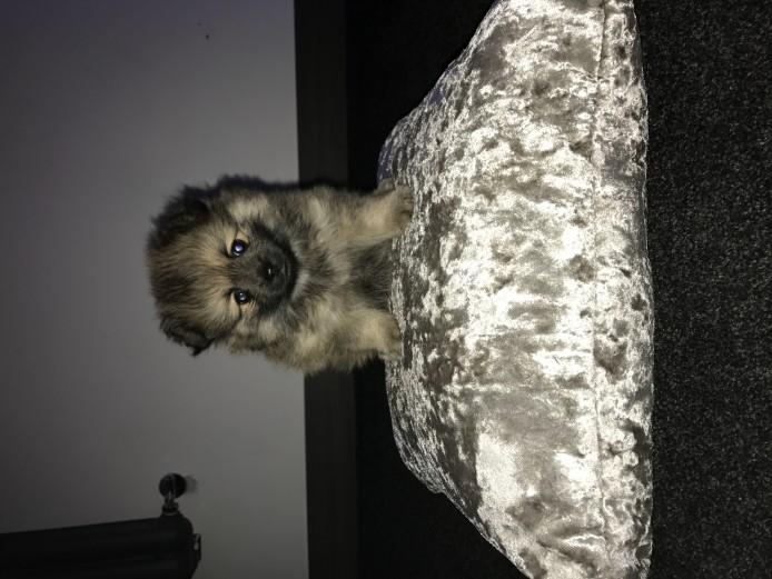 Pomeranian boy pup