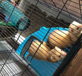 For Sale Baby Ferrets