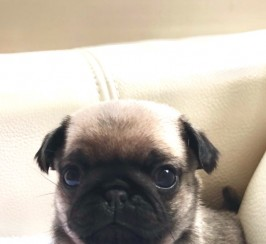 Only 3 left Kc Reg Pug Litter