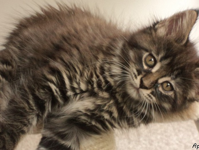 Pure mainecoon last female kitten for sale