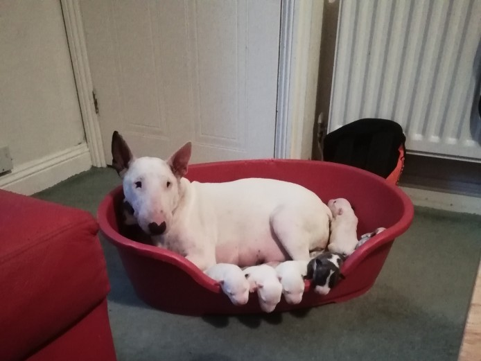 Beautiful English Bull Terriers for Sale