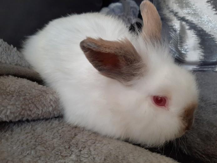 Beautiful white and grey, albino, lionhead rabbits