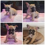 Superb quality KC Reg French bulldog pups