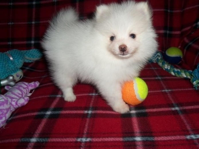 Available nicer pure white Pomeranian puppies ready