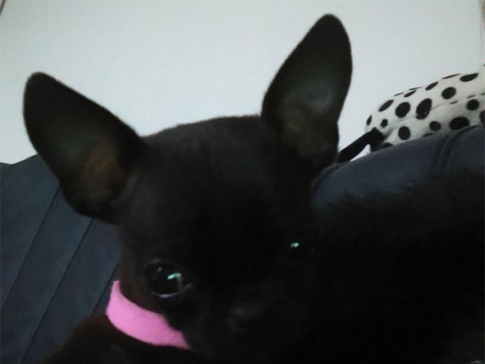 Chug (chihuahua x pug puppy)