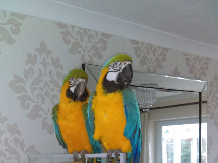 Pair of macaws male and female