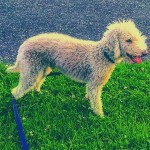 Bedlington Terrier For Stud