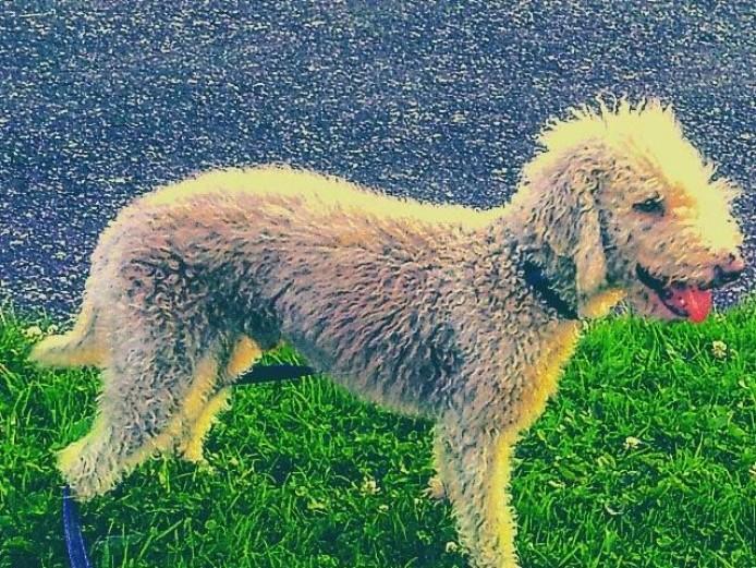 Bedlington Terrier For Stud