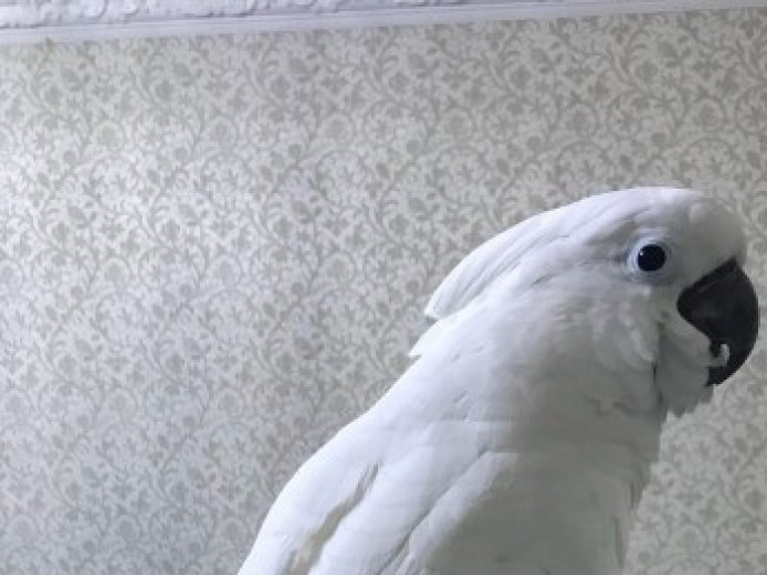 Hand Reared Baby Umbrella Cockatoo