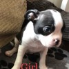 Pets  - Stunning 3/4 Boston terriers