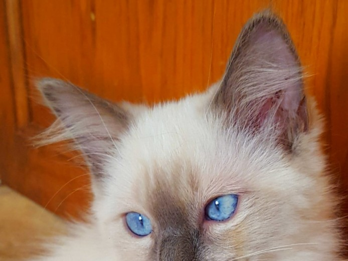 RagDoll  Perfect Markings Blue Mitted  Male