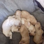 Gorgeous pra clear poochon puppies for sale