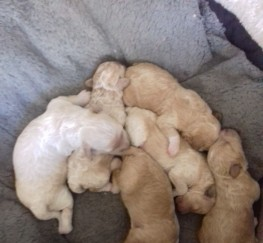 Pets  - Gorgeous pra clear poochon puppies for sale