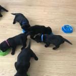 stunning kc labrador pups