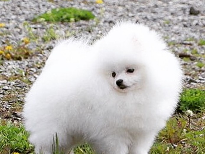 Pure Snow White Mini Pomeranian Boy