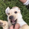 Pets  - Labrador Puppies for sale (all female, vaccinated and microchipped)