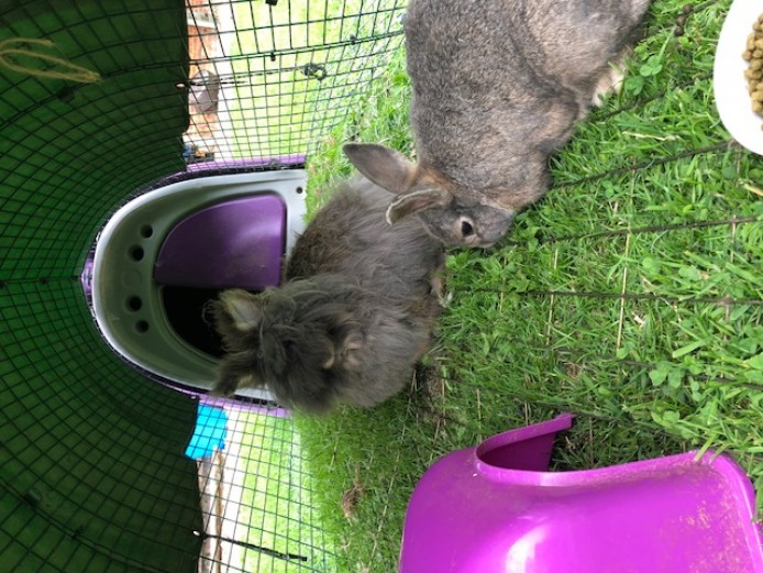 Two 5yr Old Rabbits Needing Rehome (includes cage)