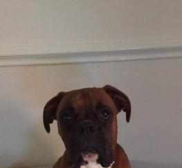 Pets  - Boxer stud