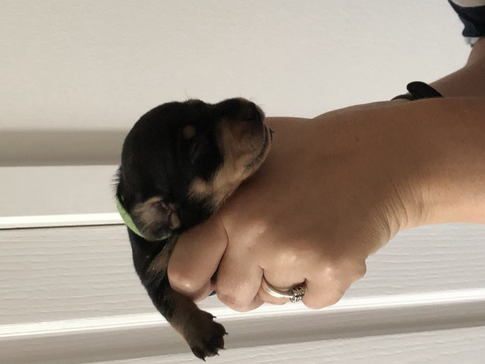 Smooth haired miniature dachshunds puppies