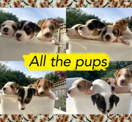 Pets  - FUN, CUTE & PLAYFUL JACK RUSSELL PUPPIES FOR SALE