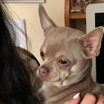 Lilac and tan kc registered chihuahua for sale