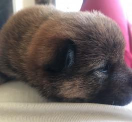 Pets  - Japanese Shiba Inu Puppies