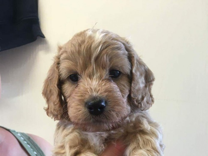 Adorable F1 Cockerpoo puppies for sale
