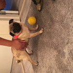 Full pedigree pug