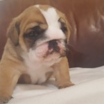 KC Registered English bulldogs girls