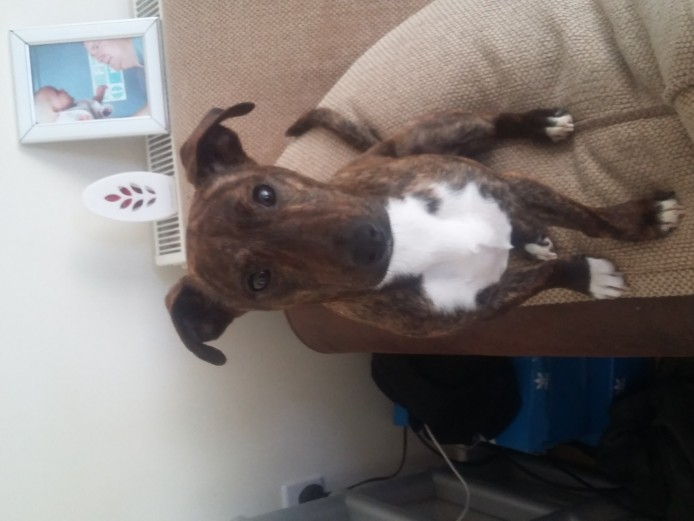 For sale staffy/whippet