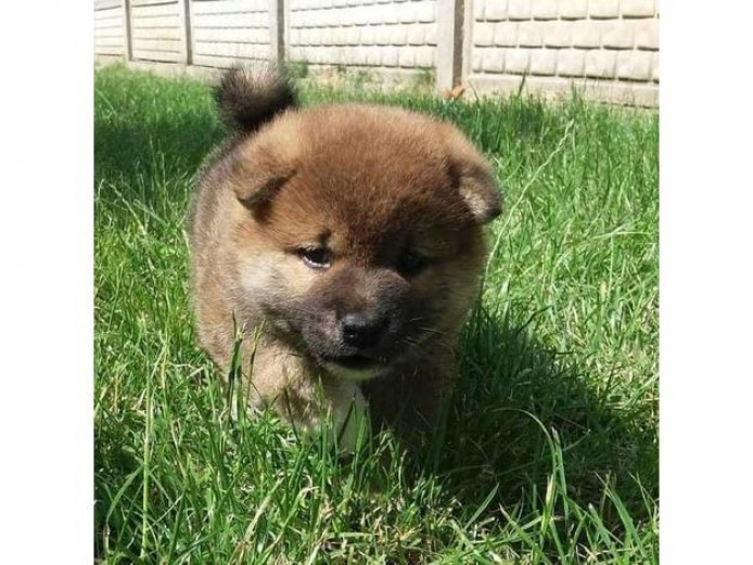 Shiba Inu puppies, 5 weeks old on the photos. Two adorable boys available for you