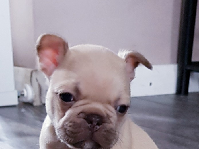 Stunning French bulldog pups