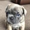 Pets for Sale - Beautiful KC Reg french Bulldog Puppies